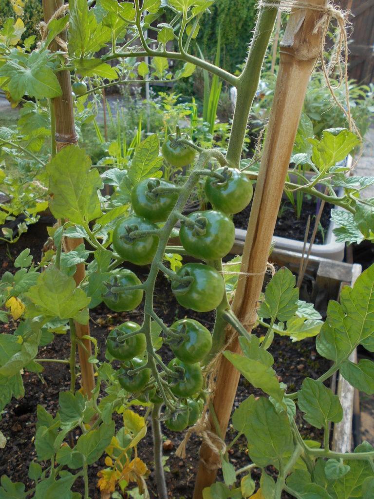 Les premieres tomates